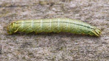 Endromis versicolora caterpillar · keršasparnis verpikas, vikšras 2355