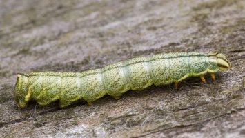 Endromidae · keršasparniai verpikai