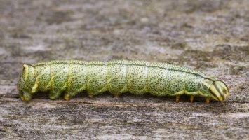 Endromis versicolora caterpillar · keršasparnis verpikas, vikšras 2359