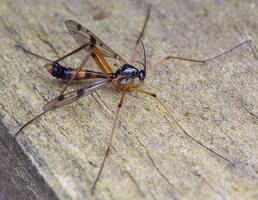 Ptychoptera contaminata male · uodas ♂ 2366