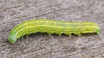 Cosmia pyralina caterpillar · rudasis guobinis pelėdgalvis, vikšras 2385