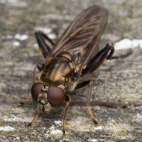 Chalcosyrphus nemorum · žiedmusė 2389
