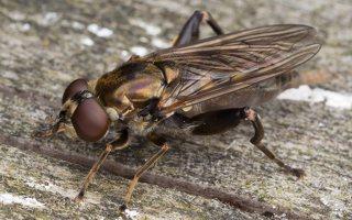 Chalcosyrphus nemorum · žiedmusė 2390
