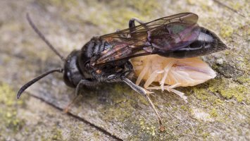 Hymenoptera · plėviasparnis 2391