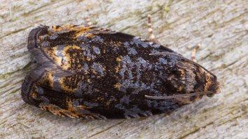 Pristerognatha fuligana · juodoji pristerognata 2401