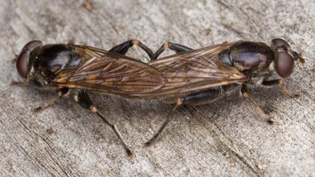 Chalcosyrphus nemorum · žiedmusė 2405