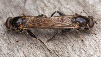 Chalcosyrphus nemorum · žiedmusė 2406
