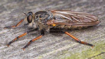 Asilidae · musė plėšrūnė 2481
