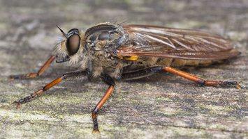 Asilidae · musė plėšrūnė 2482