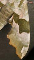 Mimas tiliae · liepinis sfinksas 2494