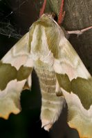 Mimas tiliae · liepinis sfinksas 2495