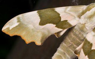Mimas tiliae · liepinis sfinksas 2501