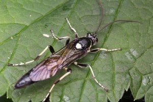 Hymenoptera · plėviasparnis 2503