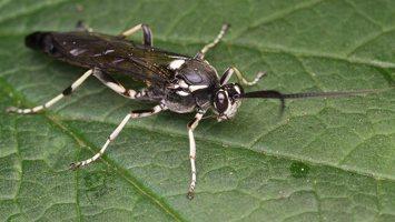 Hymenoptera · plėviasparnis 2505