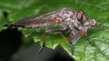 Asilidae · musė plėšrūnė 2510