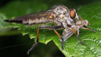Asilidae · musė plėšrūnė 2511