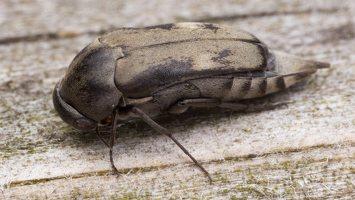 Tomoxia bucephala · dvidėmis dygliavabalis 2523