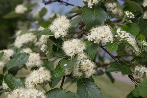 Sorbus × intermedia · švedinis šermukšnis 1274