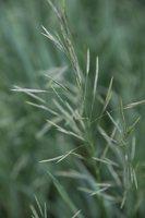 Poaceae · migliniai 1463