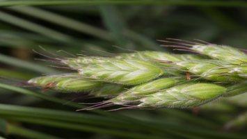 Poaceae · migliniai 1597