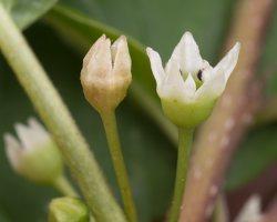Frangula alnus flowers · paprastasis šaltekšnis, žiedai 2396