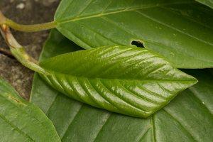 Frangula alnus leaves · paprastasis šaltekšnis, lapai 2397