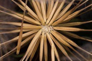Tragopogon pratensis fruits · pievinis pūtelis, vaisiai 2526