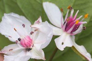 Butomaceae · bėžiniai