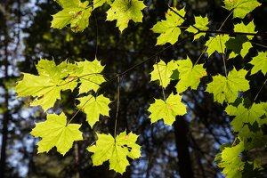 Acer platanoides · paprastasis klevas 4889