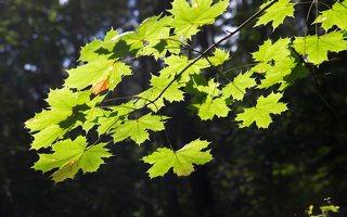 Acer platanoides · paprastasis klevas 5226