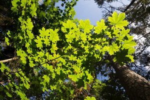 Acer platanoides · paprastasis klevas 5227