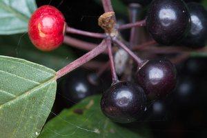 Rhamnaceae · šunobeliniai