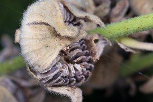 Alcea rosea · aukštoji piliarožė 4866