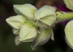 Alcea rosea · aukštoji piliarožė 4868