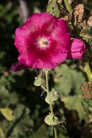 Alcea rosea · aukštoji piliarožė 4871