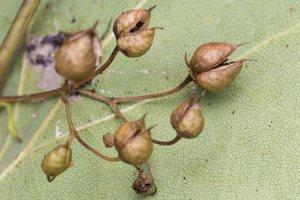 Scrophularia nodosa fruits · nariuotasis bervidis, vaisiai 4891