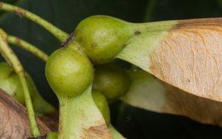 Acer pseudoplatanus fruits · platanalapis klevas, vaisiai 4902