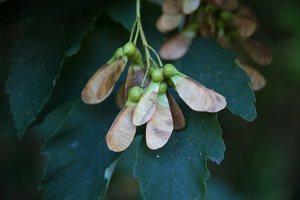 Acer pseudoplatanus fruits · platanalapis klevas, vaisiai 4904
