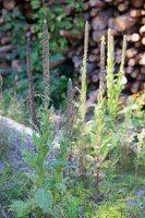Verbascum thapsus · smulkiažiedė tūbė 4907