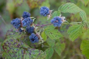Rubus caesius · paprastoji gervuogė