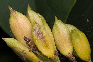 Syringa vulgaris fruits · paprastoji alyva, vaisiai 4921