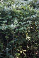 Fallopia japonica · japoninis pelėvirkštis 4941