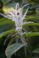 Fallopia japonica · japoninis pelėvirkštis 4942