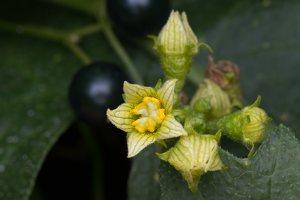 Cucurbitaceae · moliūginiai