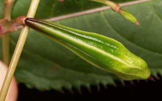 Impatiens glandulifera · bitinė sprigė 5073