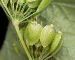 Apiaceae · salieriniai 5075