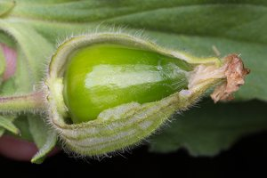 Silene latifolia fruit · baltasis šakinys, vaisius 5077