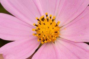Cosmos bipinnatus · paprastoji kosmėja