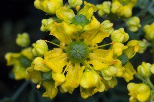 Rutaceae · rūtiniai
