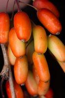 Berberis vulgaris · paprastasis raugerškis 5174
